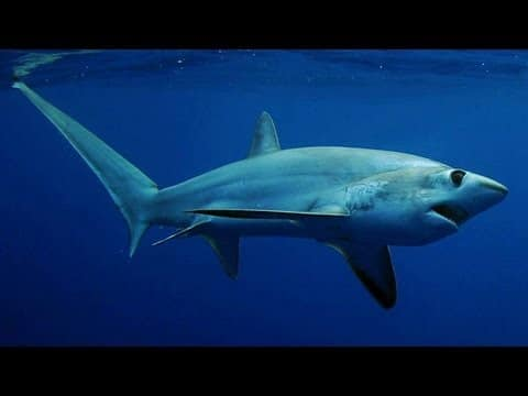 Thresher Shark's Deadly Tail – ScienceTake