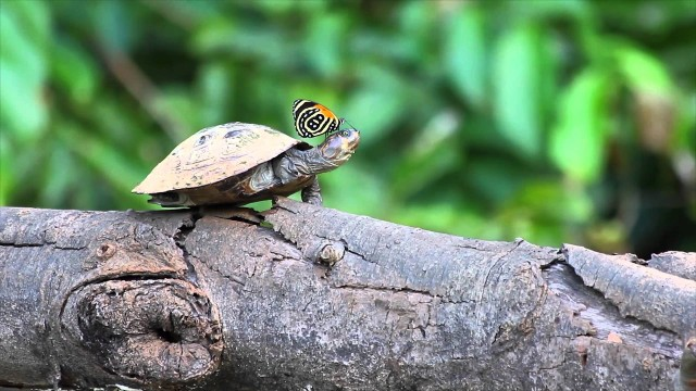 Butterflies that drink turtle tears for the salt content