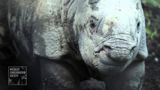 Baby Indian one-horned rhino at the Bronx Zoo