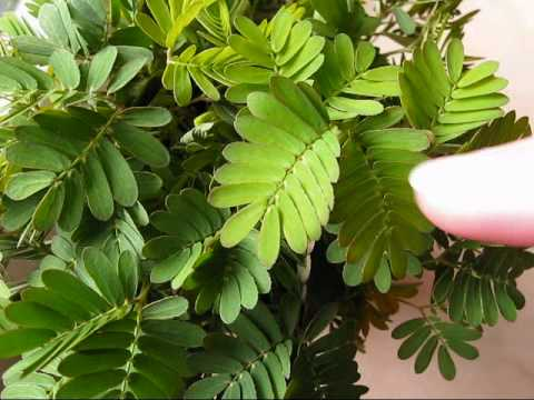 Mimosa pudica (touch-me-nots) & rapid plant movement