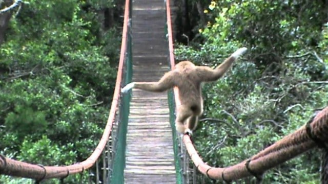 Lar Gibbon crosses a suspension bridge