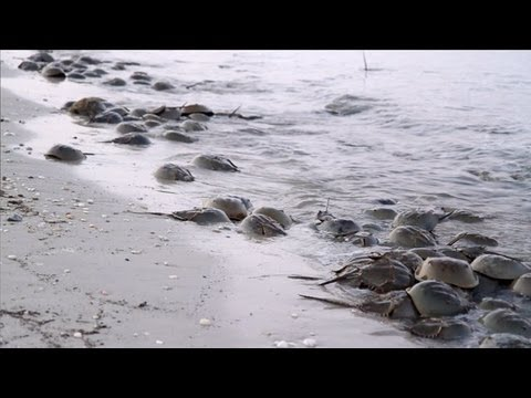 Rendezvous With Horseshoe Crabs – Science on the SPOT