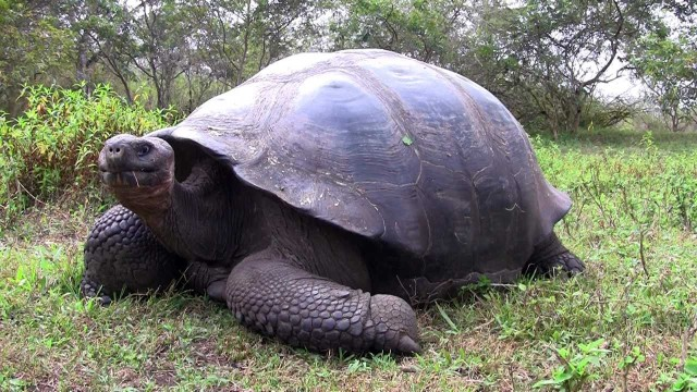 Up close with a Giant Galapagos Tortoise