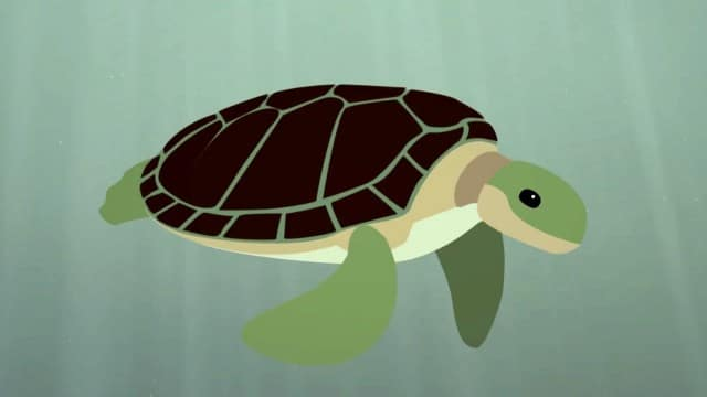 The Survival of the Sea Turtle –TED Ed