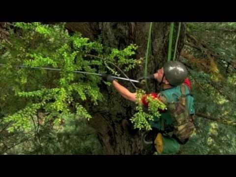 Climbing & Measuring Redwood Giants with Stephen Sillett