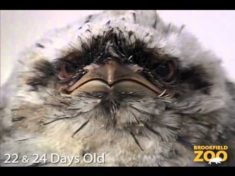 The tawny frogmouth at the Brookfield Zoo