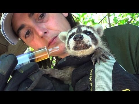 Raccoon Baby Rescue, Rehydration, and Reunion
