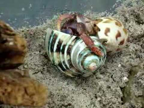Shelby the hermit crab changes into a brand new shell