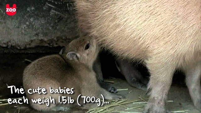 Baby capybaras at Ichihara Elephant Kingdom in Japan