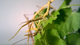 A twig-like Indian Walking Stick insect eats a leaf