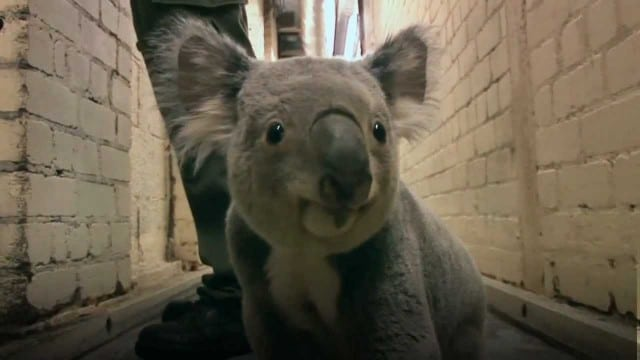 Yabbra the koala runs down a hallway