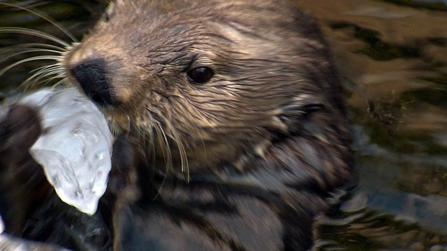 Sea Otter vs. Ice: Rocks are perfect for cracking frozen food-filled ice
