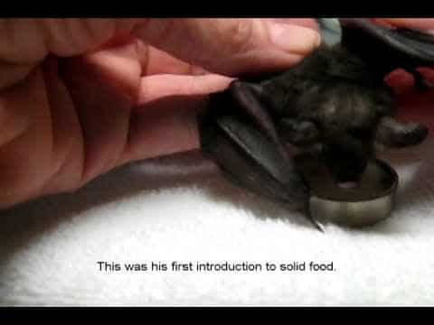 How volunteers hand-raised an orphaned short-tailed fruit bat