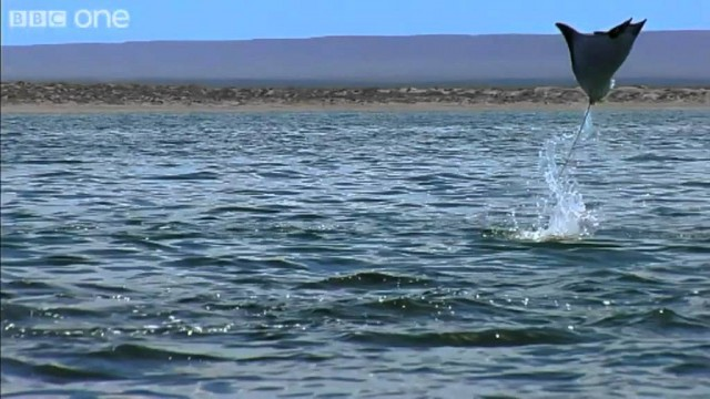 California Devil Rays Leap from the Pacific – Earthflight