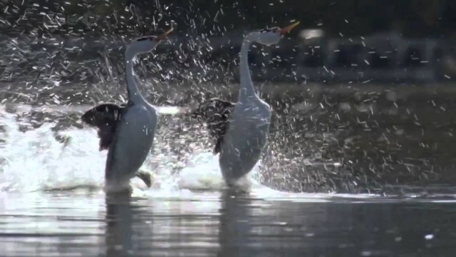 "The ""dance"" of the Clark's Grebes"