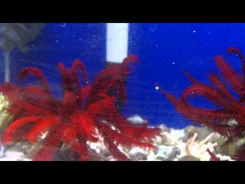 Feather Stars Swimming