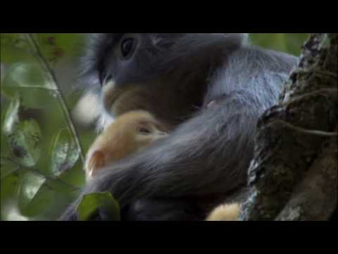 Phayre's Leaf Monkeys with a bright orange baby
