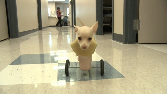 Josie the chihuahua gets her wheels
