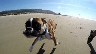 A two-legged Boxer on his first trip to the beach