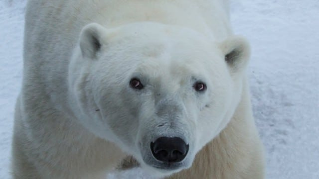 Explore the Polar Bear Capital of the World