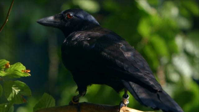 The ultimate problem solvers? A wild crow solves a puzzle in 8 parts