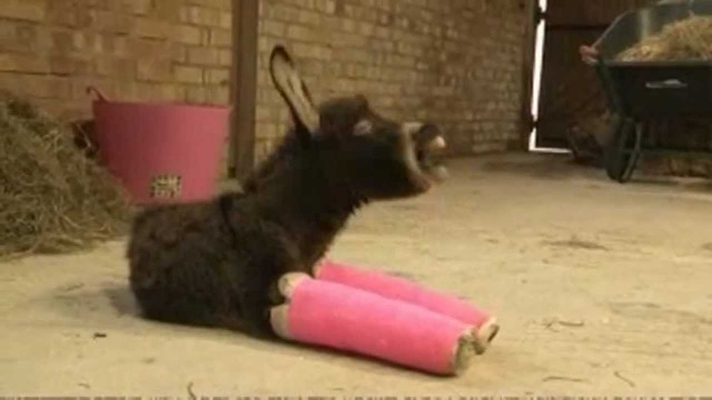 Primrose the donkey and her pink plaster casts
