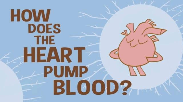 How does the heart pump blood? –TED Ed