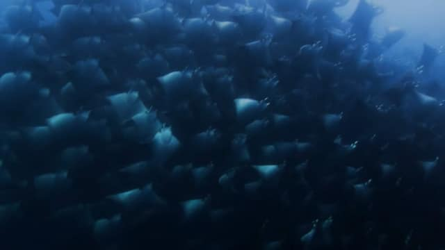 The largest school of rays ever caught on film