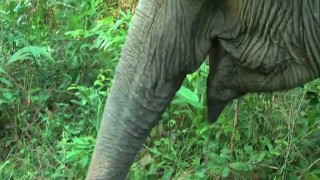 An elephant finds her own fruit in the jungle
