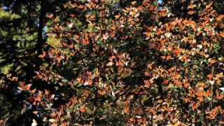 The Magnificent Monarchs: Visit a butterfly sanctuary in Mexico