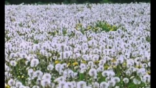 The Private Life of Plants: Dandelions