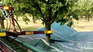 Cherry harvesting with a hydraulic tree shaker