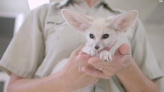 Bouncing Baby Fox Pounces and Plays at the San Diego Zoo