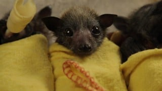Baby Bat Burritos at the Australian Bat Clinic