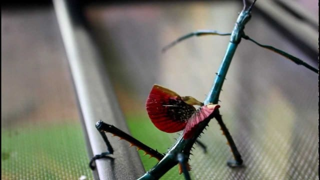 The brightly-colored Achrioptera fallax stick insect