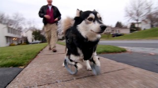 Derby the dog runs on his 3D printed prosthetic paws