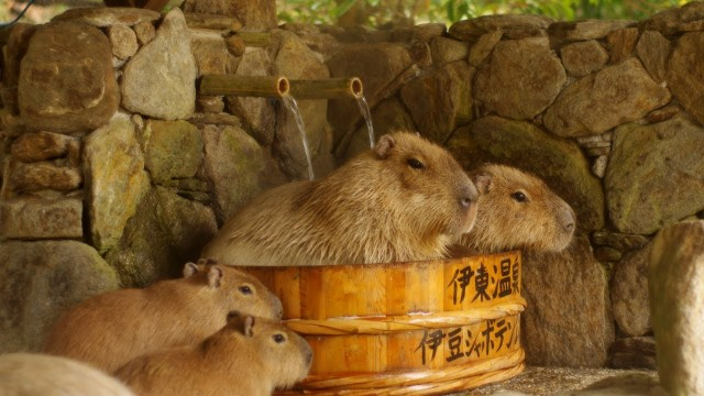 Capybaras enjoy hot springs at Saitama Children's Zoo