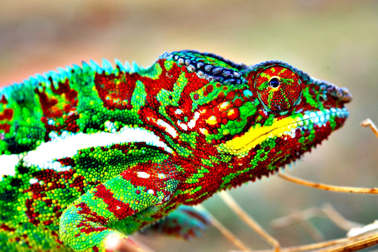 How (and Why) Do Chameleons Change Color? – Veritasium | The Kid ...
