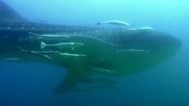 Close encounters of the giant kind: Diving with a whale shark