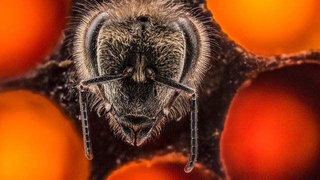 The first 21 days of a bee's life, a time lapse in 64 seconds