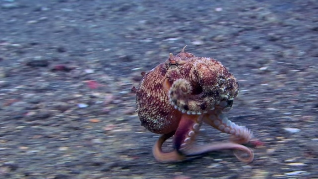 Run, Octopus, Run! – Science Friday