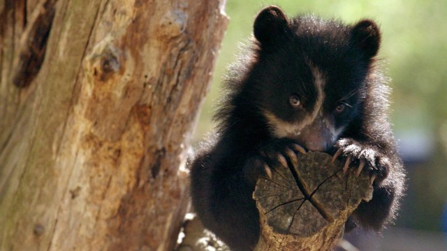 Wild Inside the National Zoo: Curious Andean Bear Cubs