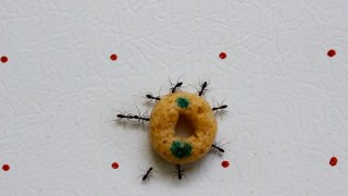 Longhorn 'Crazy Ants' work erratically/cooperatively to carry loads