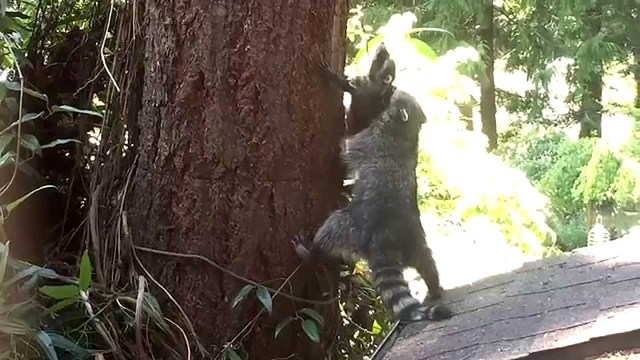 A mother raccoon teaches her kit how to climb a tree