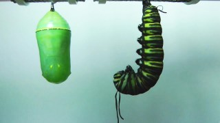 Monarch Butterfly Metamorphosis in HD + The Monarch Manifesto