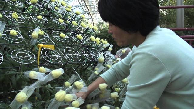 1,000 bloom chrysanthemum: The largest in the western world