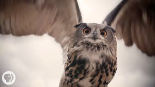 What makes owls so quiet & so deadly for prey? – Deep Look