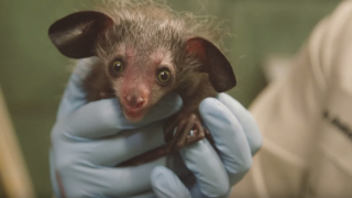 Zookeepers weigh a baby aye-aye at the San Diego Zoo