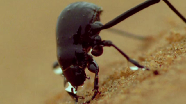 Can Namib Desert beetles help us solve our drought problems?
