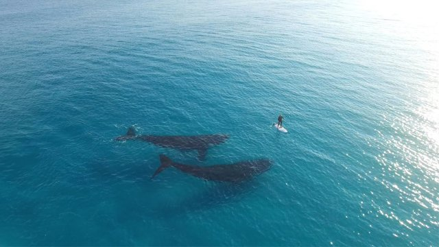 Whales swim with a paddleboarder off the coast of Esperance